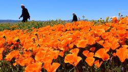 Καλιφόρνια: Οι παπαρούνες ανθίζουν ξανά μετά από μήνες