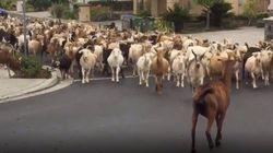 200頭のヤギの群れが大脱走。カリフォルニアの街になだれ込む。「自主隔離で最もクレイジーだ」
