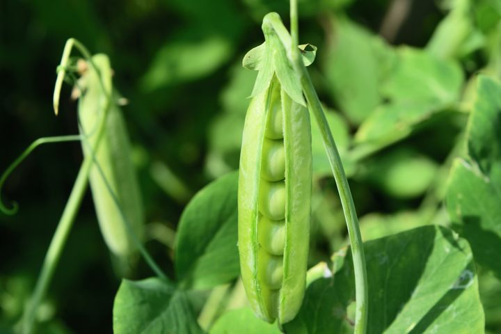 Plant your pea seeds now to enjoy in July.