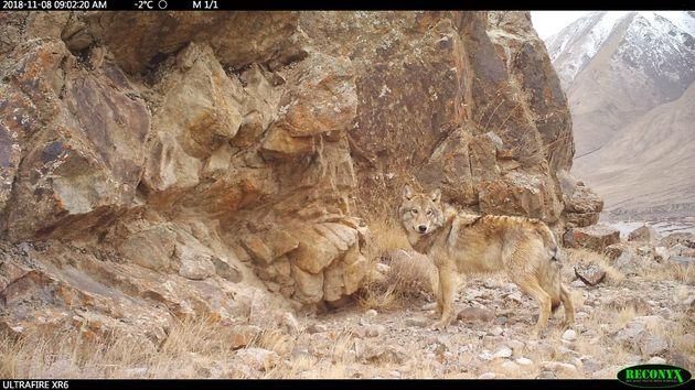 (「野生のタイリクオオカミ」赤外線カメラで撮影)