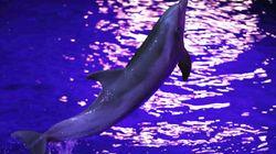 Un dauphin né à Marineland donne naissance à un bébé, une première pour le
