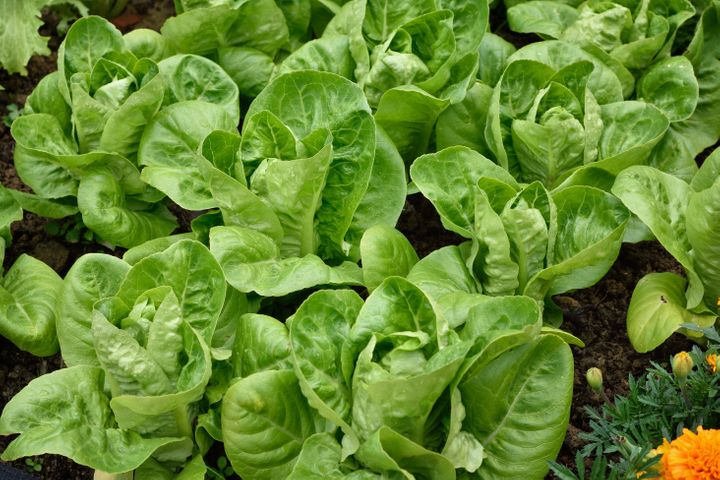 Little Gem is a fast-growing romaine lettuce.