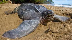 Scompare l'uomo dalla spiaggia e in Thailandia tornano a nidificare le tartarughe