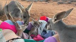 Αυστραλία: Viral η στιγμή που ορφανά καγκουρό βρίσκουν τελικά τους γονείς που