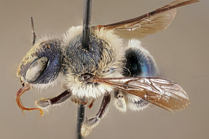 The blue calamintha bee was rediscovered in central Florida in March 2020. Before that, it was last observed in 2016.
