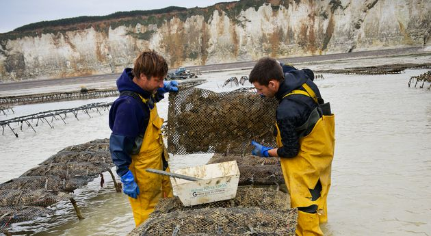 Oysters from Veules-les-Roses (Normandy, northern France), on the 'Cote d'Albatre' (Norman coast). Oyster...