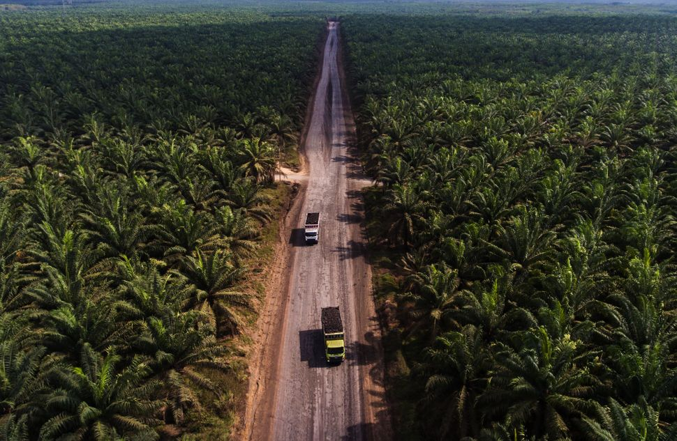 A large palm oil plantation in Indonesia. This incredibly biodiverse country lost about 289,000 acres of forest to palm oil p