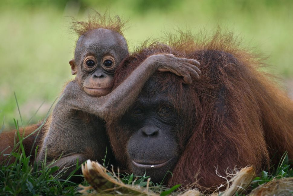 A baby orangutan clings onto its mother in Tanjung Hanau, Central Kalimantan, Indonesia. The rapid expansion of palm oil prod
