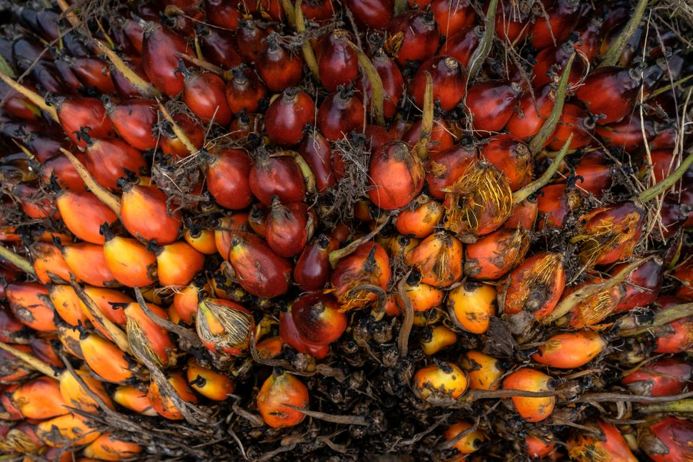 The fruit of the oil palm tree produces an oil that is incredibly versatile and cheap.
