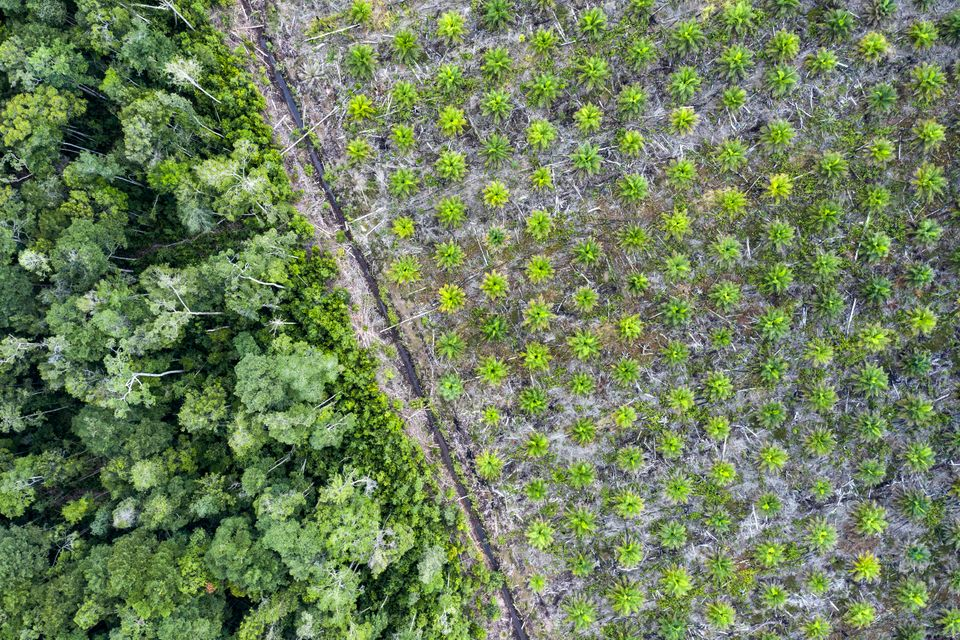 Aerial view of a palm oil plantation in the province of Kalimantan, Borneo. The fruit of the oil palm...