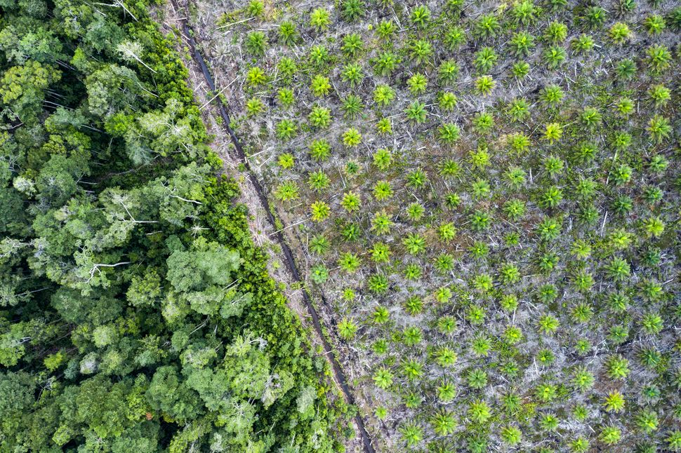 Aerial view of a palm oil plantation in the province of Kalimantan, Borneo. The fruit of the oil palm tree produces a cheap,