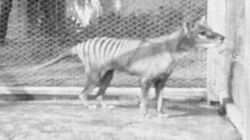 Last Known Footage Of A Tasmanian Tiger Shows What The World Has