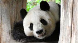 パンダのタンタン、中国へ帰国。子どもに愛され、神戸を勇気づけた20年