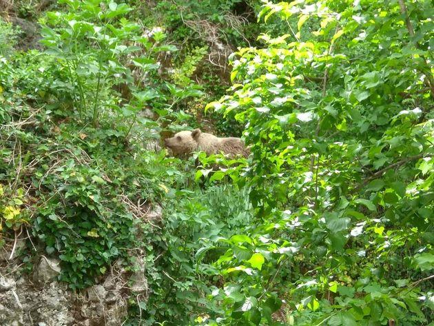 Αρκουδάκι «συμβιώνει» με τους κατοίκους στο Μικρό