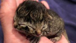 ΗΠΑ: Γεννήθηκε γατάκι με δύο