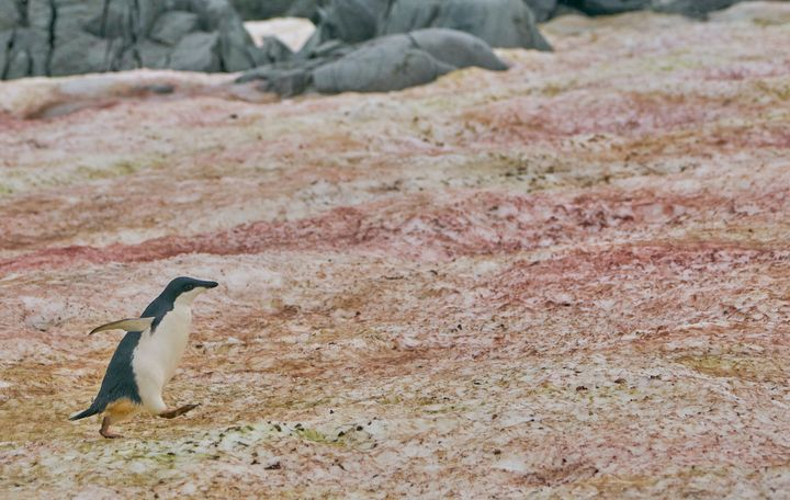 An Adelie penguin in the middle of red algae on the Antarctic Peninsula