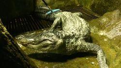 Cet alligator qui avait survécu à la Seconde guerre mondiale s'est éteint à 84