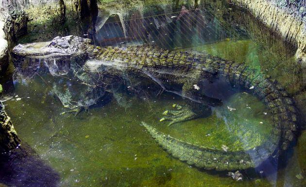 Πέθανε πλήρης ημερών ο αλιγάτορας που σύμφωνα με τον μύθο ήταν το κατοικίδιο του