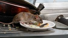 CDC Warns Of 'Aggressive Rodent Behavior' As Lockdown Eases