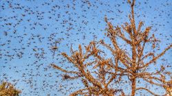 Locust Attack In Rajasthan, Alert In Delhi: Here's What You Need To