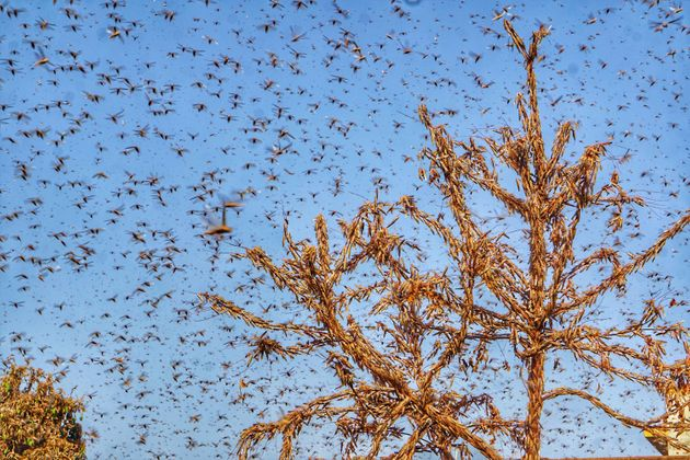Swarms of locust in the residential areas of Jaipur on Monday, May 25,