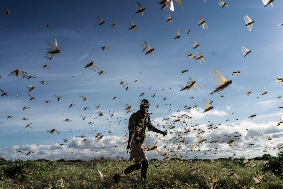Η επέλαση των ακρίδων στην Κένυα (21 Μαϊου)