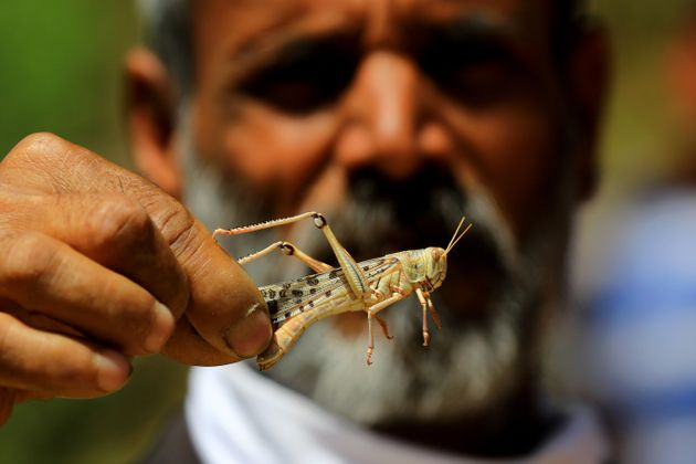 A man holds a locust after swarms of the insect attacked the residential areas of Jaipur on May 25,