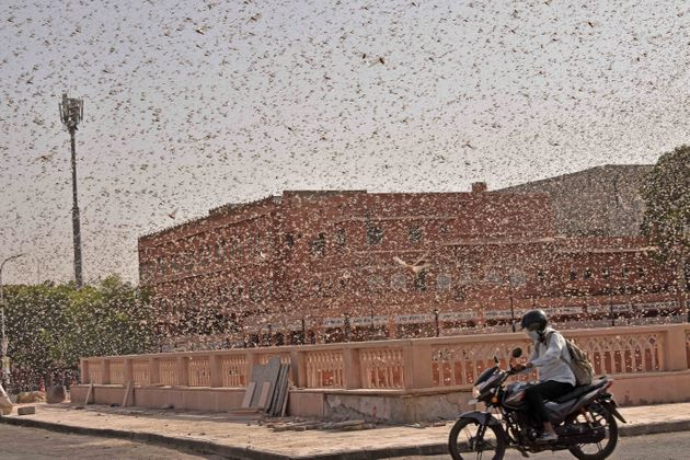 Swarms of locust attack in Jaipur on May 25, 2020. Locusts have affected18 districts of