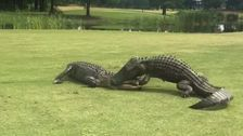 Alligators Fight On Golf Course's 18th Hole. It Must Have Been A Tense Round.