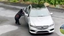 Bear Tries To 'Steal' A Car And Becomes A TikTok Star