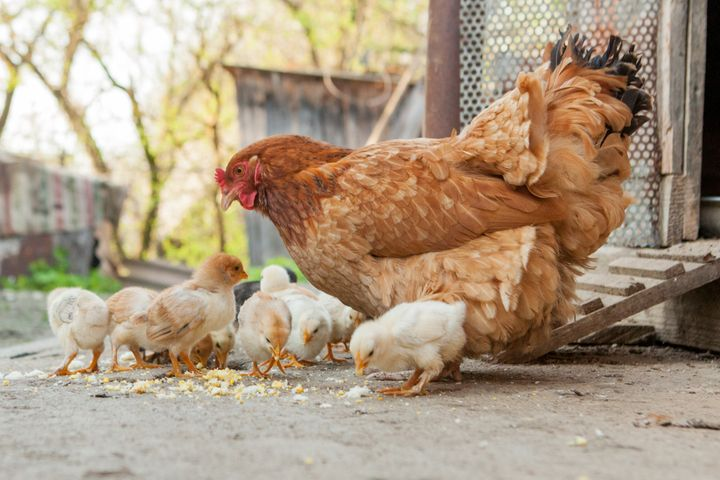 It takes about 50 pounds of feed to grow a chick to its egg-laying state.