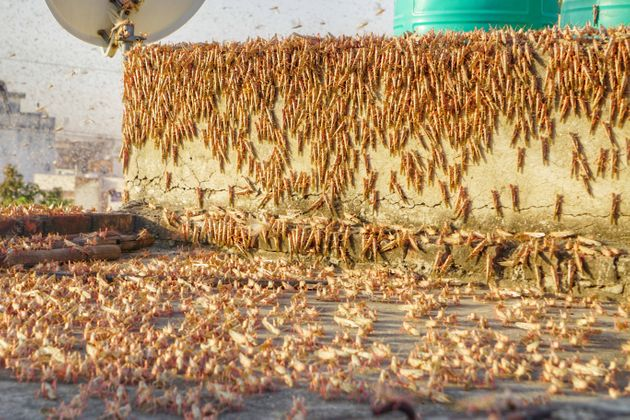 Swarms of locust attack in the residential areas of Jaipur on May 25,
