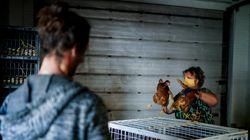 Coqueluches du confinement, les poules pondeuses perdront-elles des plumes après le 2