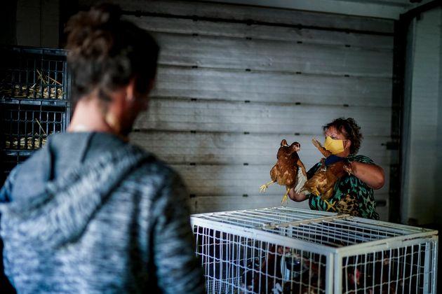 Les éleveurs ont parfois vendu deux fois plus de poules pondeuses ces deux derniers mois, par...