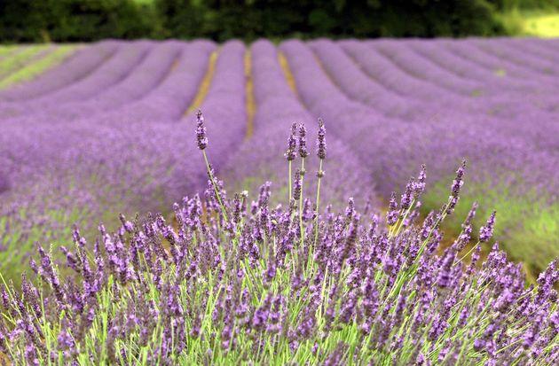 Norfolk Lavender Fields, Heacham, England