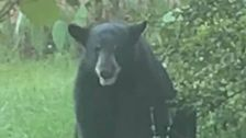 Florida Police Use Krispy Kreme To Lure Black Bear Off City Streets