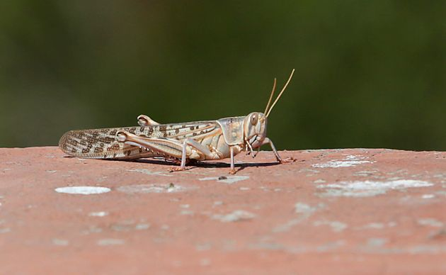 A closeup of a locust spotted around apartments on May 25, 2020 in