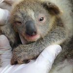 コアラの赤ちゃん誕生。森林火災の被害を受けた動物たちの「希望の証しに」(動画)