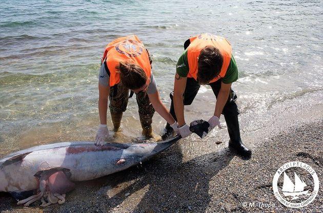 Σκληρές εικόνες: Νεκρά δελφίνια στο Αιγαίο με εμφανή σημάδια