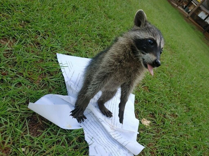 Mark Lee Dickson posted a photo of a baby raccoon playing with an ACLU lawsuit against seven towns in Texas.