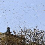 Are Locusts Really Headed To Delhi Like The WhatsApp Messages