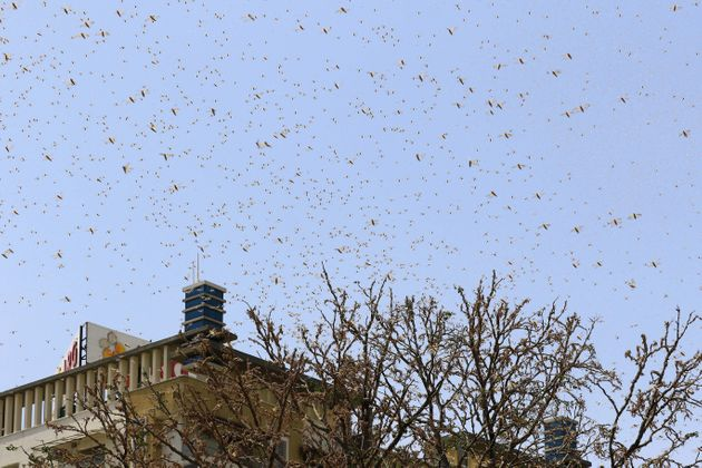 Swarms of locusts in the residential areas of Jaipur, Rajasthan on May 25,