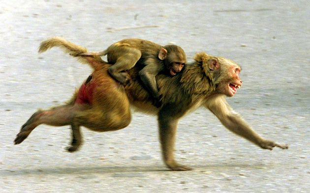 Monkeys Attack Medical Official, Steal Coronavirus Samples And Then Eat