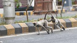 Ινδία: Πίθηκοι έκλεψαν δείγματα αίματος ασθενών με κορονοϊό και τα