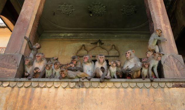 En Inde, des singes s'emparent de tests sérologiques pour le Covid-19 (photo d'illustration prise...