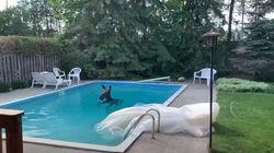 Καναδάς: Αλκη βρέθηκε να κολυμπάει σε πισίνα κατοικίας - Εκπληκτοι οι ιδιοκτήτες και η