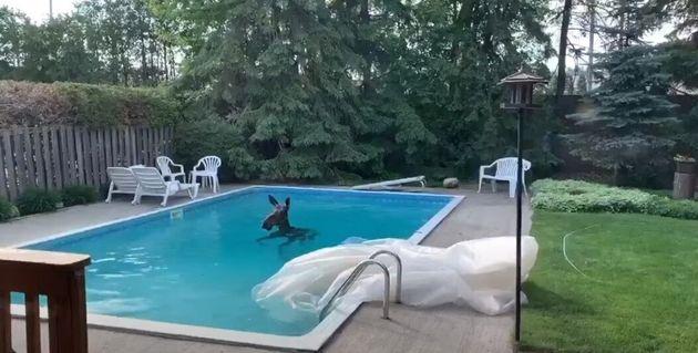 Αλκη βρέθηκε να κολυμπάει σε πισίνα κατοικίας στην Οτάβα στον Καναδά.