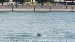 Une baleine à bosse cause un certain émoi autour de