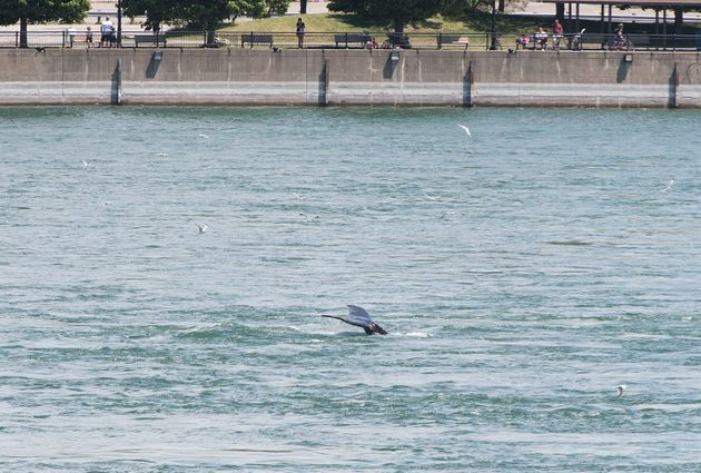 La bête a été repérée sous le pont Jacques-Cartier, près du...