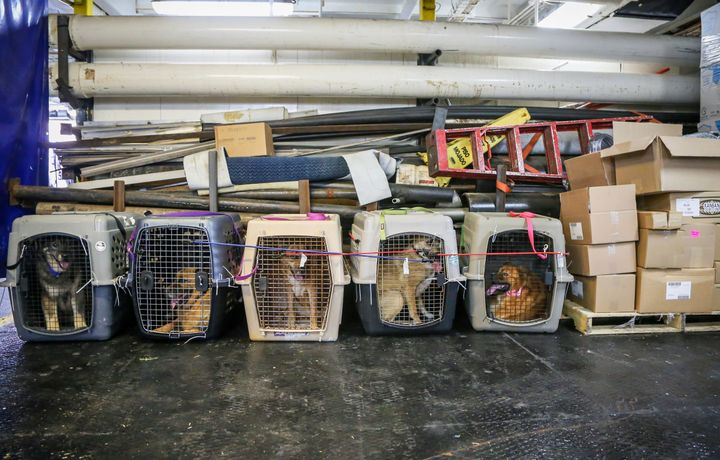 Dogs whose owners are missing or presumed dead are seen in the aftermath of Hurricane Dorian and Tropical Storm Humberto in t